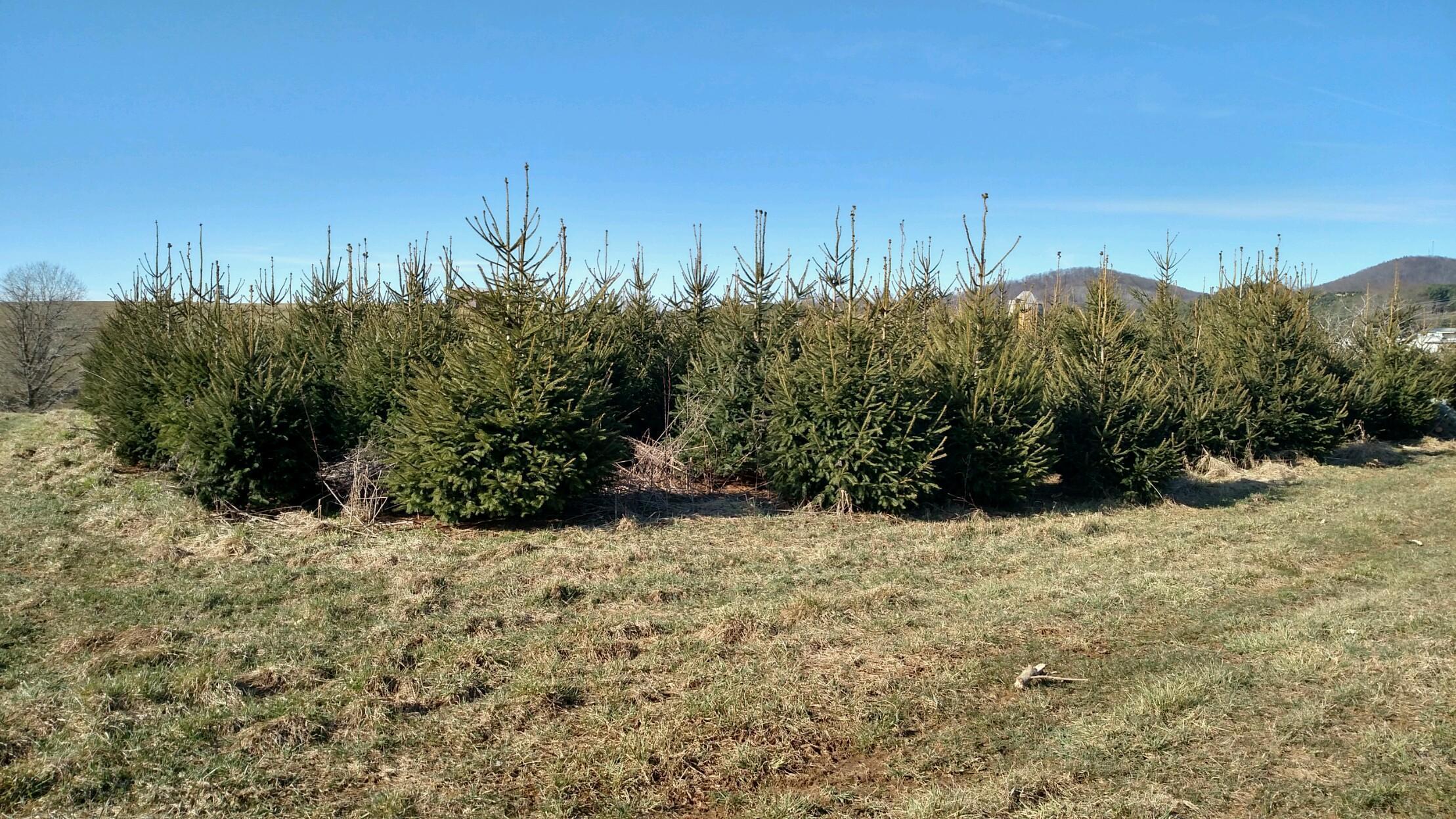 overgrown or diseased christmas tree removal - Christmas Tree Removal